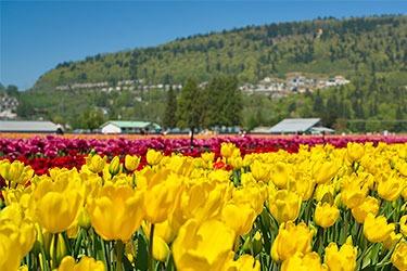 Tulip field in Abbotsford, BC, Canada